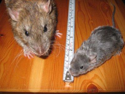 hur bekämpar anticimex råttor