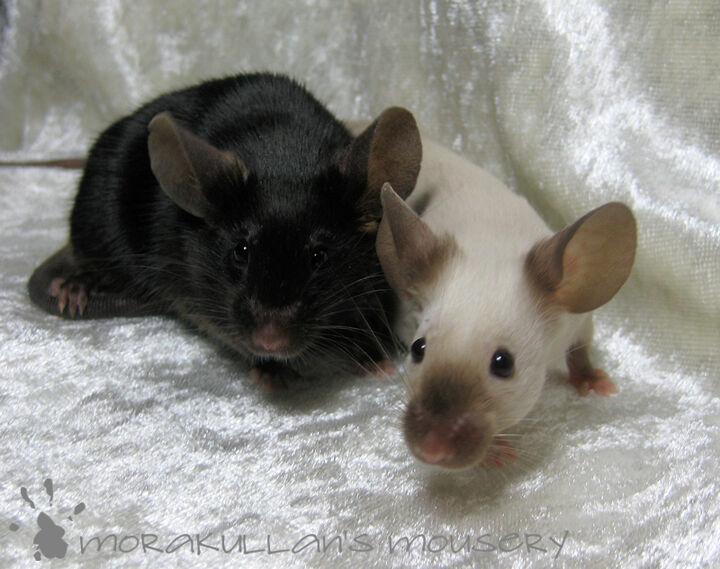 Bildresultat för jacksonmus site:mus.ifokus.se